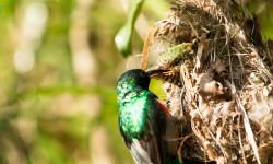 olive-bellied-sunbird-klaas-cuckoo