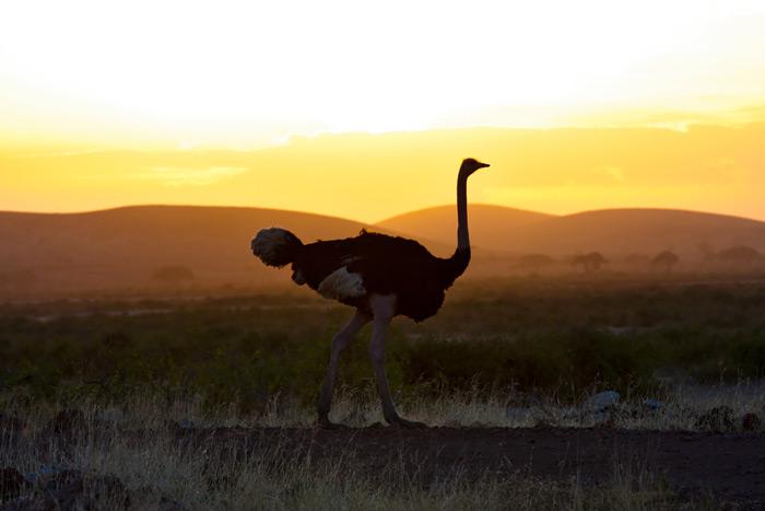 ostrich-at-sunset