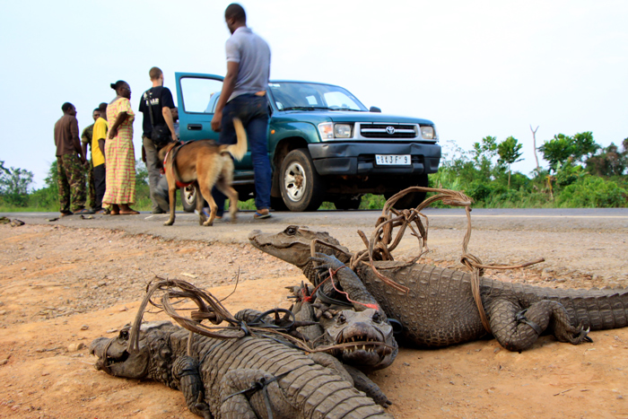 4. Three confiscated crocodiles keenly await their release as the team continues to search the constant flow of vehicles passing through the control post.