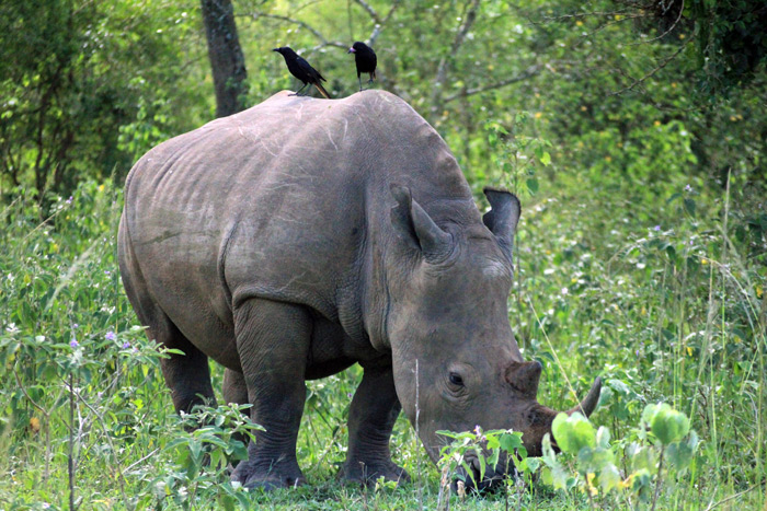 rhino-and-birds