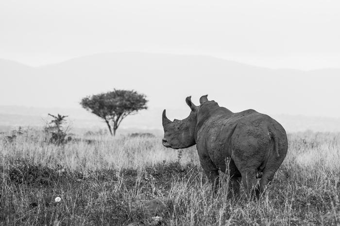 rhinos-kwazulu-natal
