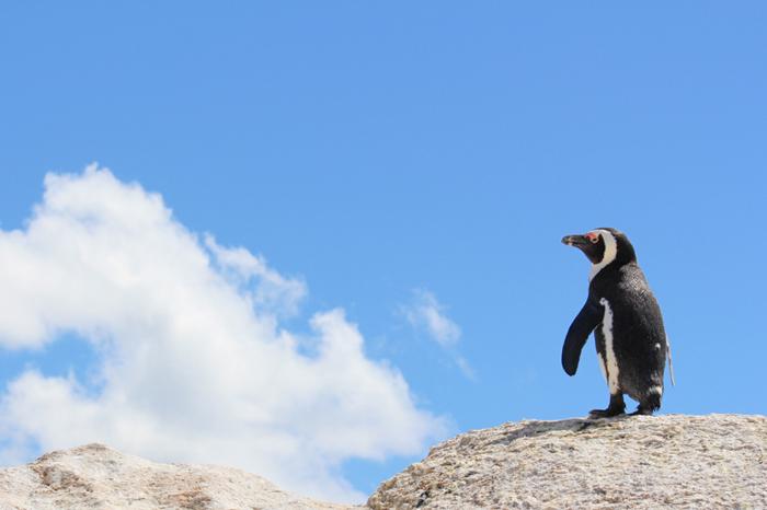 saccob-african-penguin