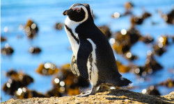 sanccob_african-penguin