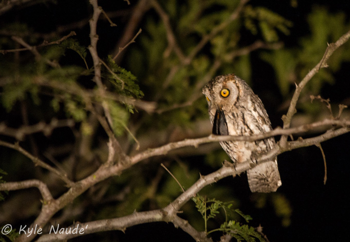 Scops owl by Kyle Naude