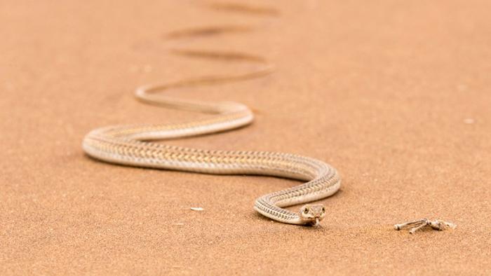 side-winder-snake-namib-desert