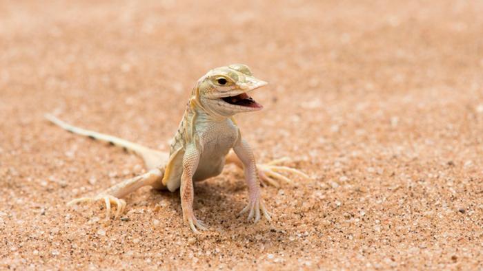 snouted-lizard-naib-desert
