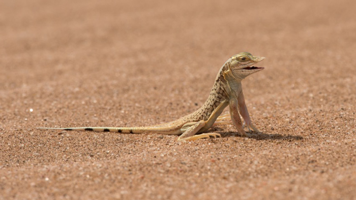 snouted-lizard-namibia