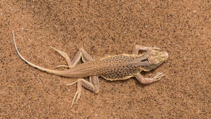 snouted-lizard
