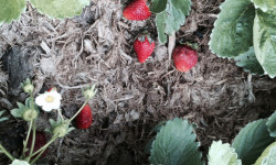 strawberries-growing-on-dung