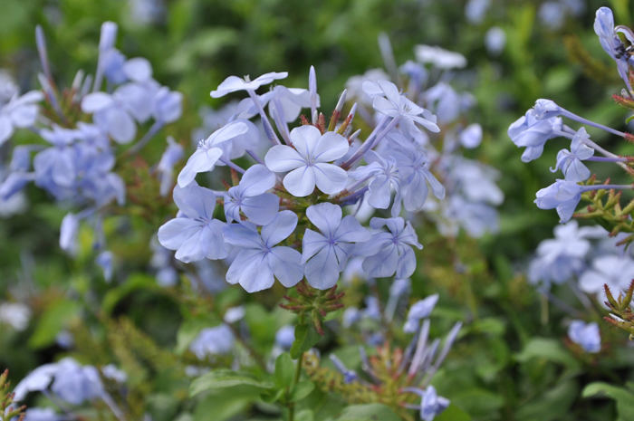 The plumbago (Plumbago auriculatastrong) has a deep, strong root system © Alice Notten