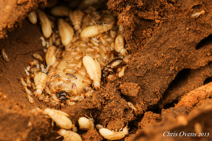 The Termite Queen A Story Of Survival Africa Geographic