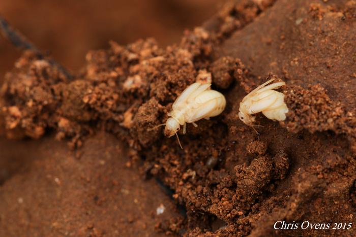 termite-males