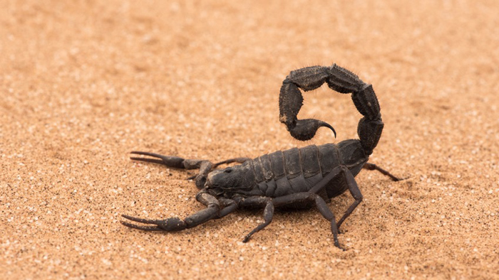 thick-tailed-scorpion