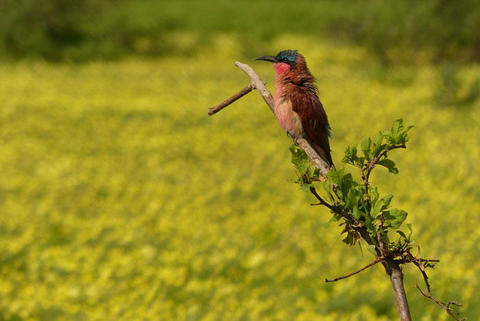 tuli-safari-lodge-carmine-bee-eater