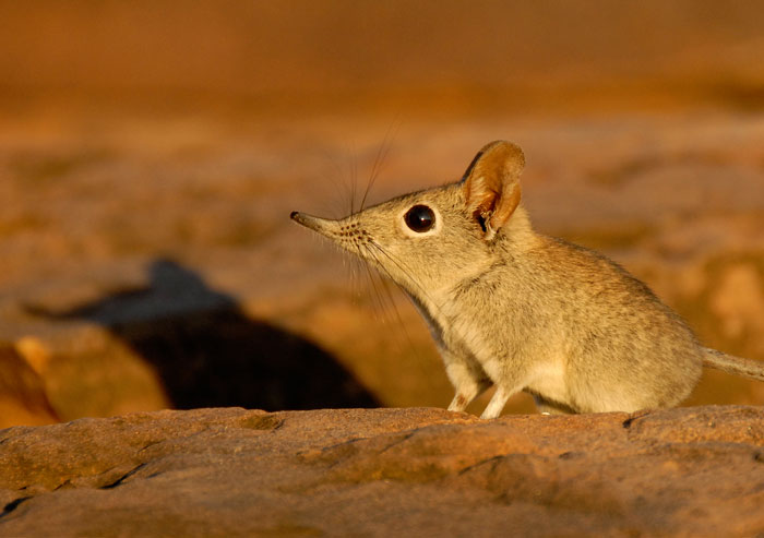tuli-safari-lodge-elephant-shrew