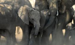 tuli-safari-lodge-elephants