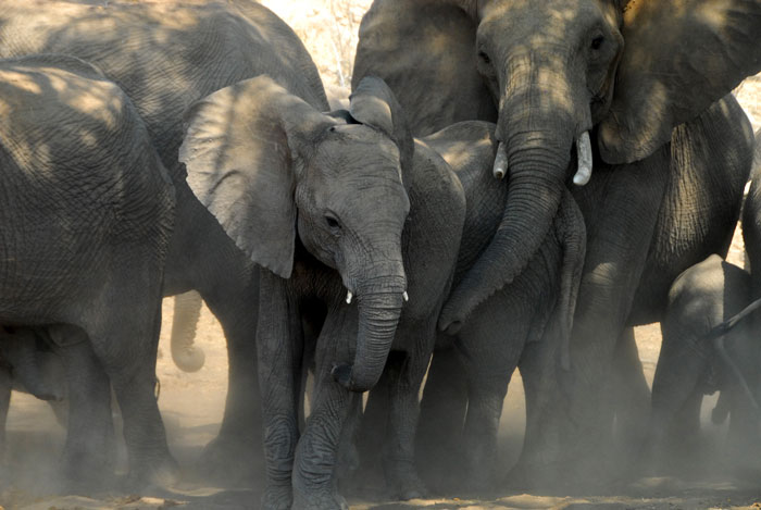 tuli-safari-lodge-elephants