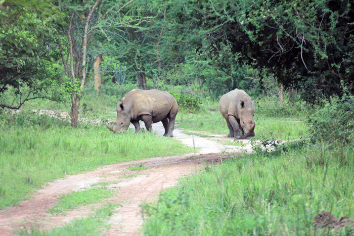two-rhinos-on-path