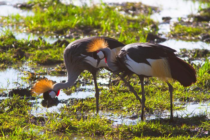ugandan-cranes