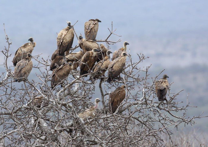 White-backed vultures by Malcolm Sutton