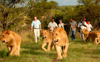 Walking With Lions Experience. © Ranch Resort.