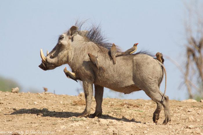 warthog-terrapin-hide