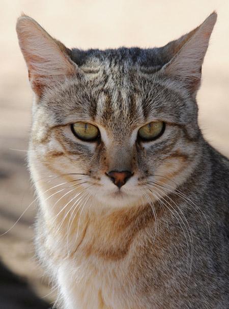 Video Eagle Vs Wildcat 5 Wildcat Facts Africa Geographic