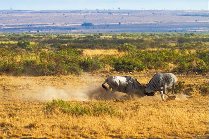 wildebeest-fight