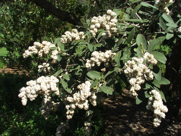 The wind and drought tolerant coastal camphor bush (Tarchonanthus littoralis) © Alice Notten