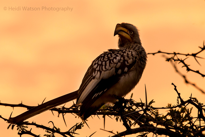 Yellow-billed hornbill © Heidi Watson