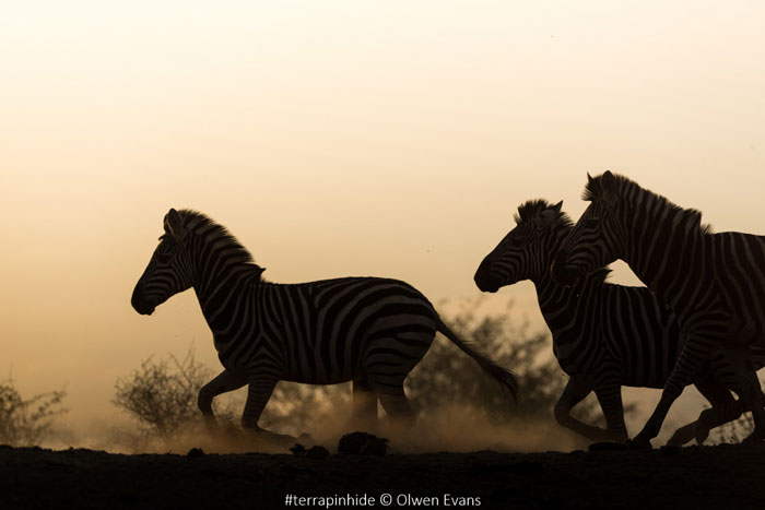 zebra-at-sunset