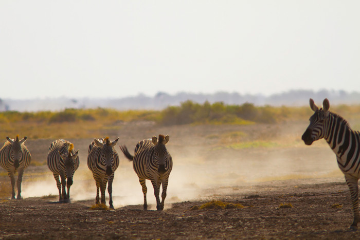 zebras-galore-kenya