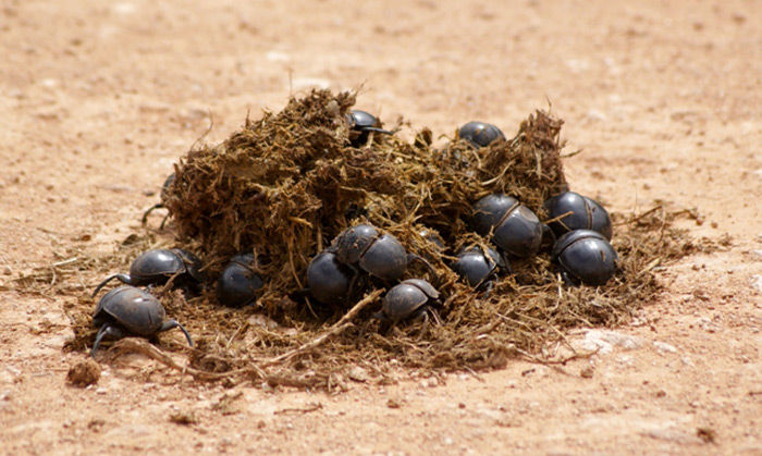 Addo flightless dungbeetle © Adriaan Grobler