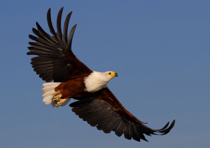 African-Fish-Eagle-WEB