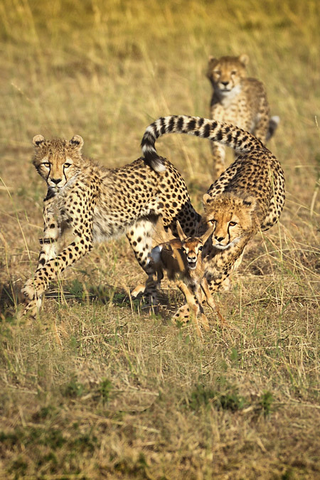 Seeing a hunt is at the top of most safari bucket lists and in order to be in the right place at the right time you need to be patient with predators like Butch Mazzuca was with these young cheetahs in the Maasai Mara