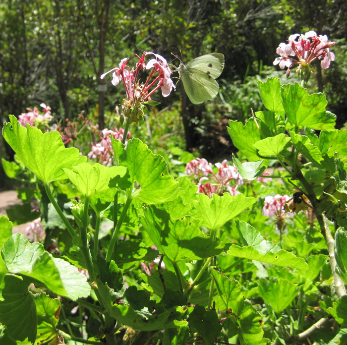 A butterfly on a pelargonium © Catherine Browne