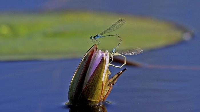 Damselflies-mating-WEB2