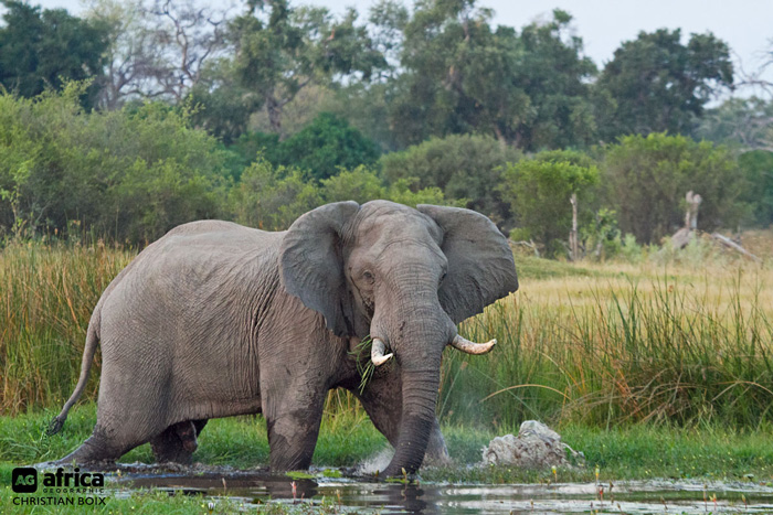 Elephant-Bull-WEB