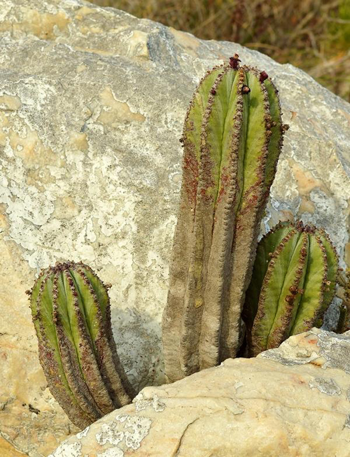 Euphorbia polygona © Adriaan Grobler