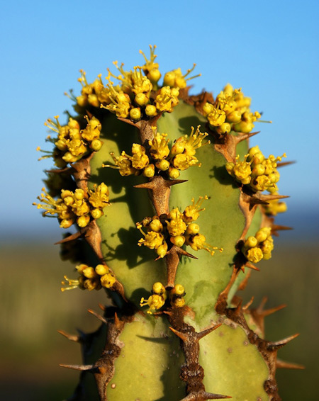 Euphorbia radyeri © Adriaan Grobler