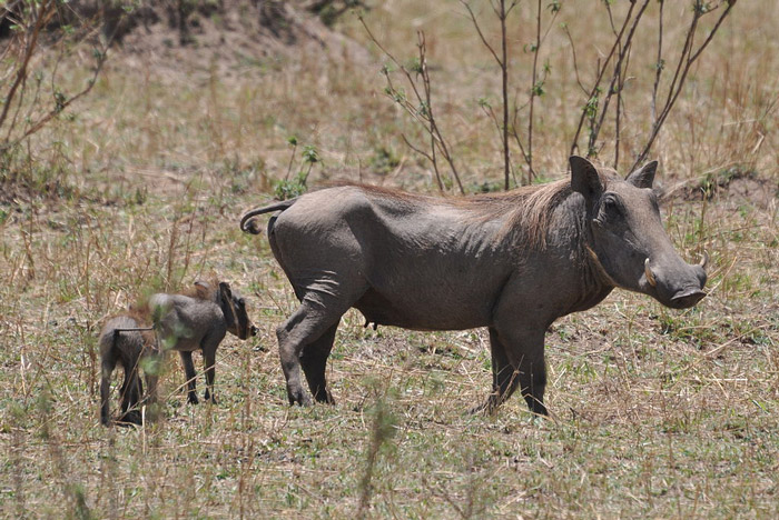 A female warthog with young © Caelio