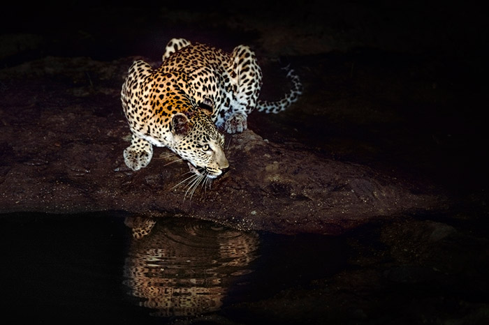 It is important to understand your histogram in order to get the right exposure in your wildlife photos, especially when photographing in extremely dark or bright conditions, like this shot of a leopard drinking after dark by Gerald Hinde