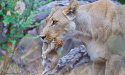 Lion-with-cub