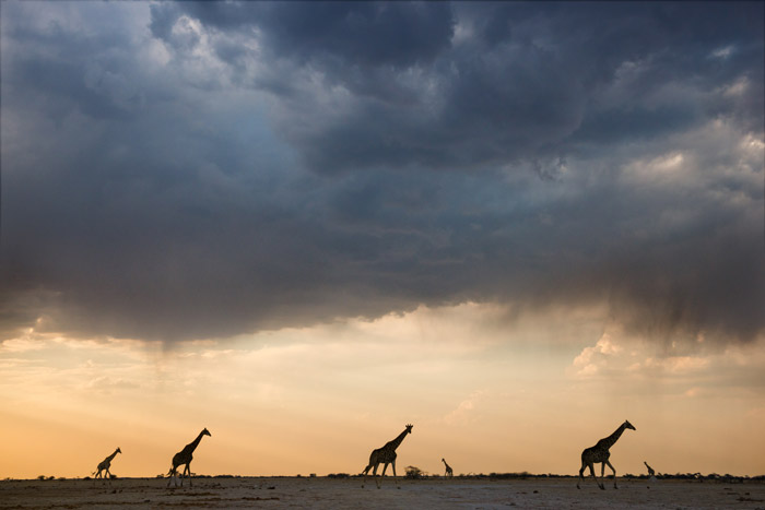 The right light adds an atmospheric level to this image of giraffes in Nxai Pan by Olwen Evans
