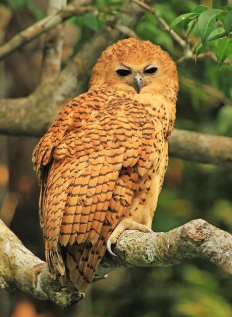 Pels Fishing Owl- Christian Boix 1