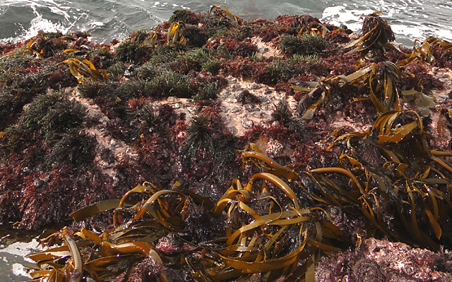 10 facts about seaweeds + interesting uses for seaweed
