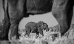 A simple edit like converting an image to black and white can really make all the difference as evidenced in this image of an elephant mother and calf by Tom Stenner