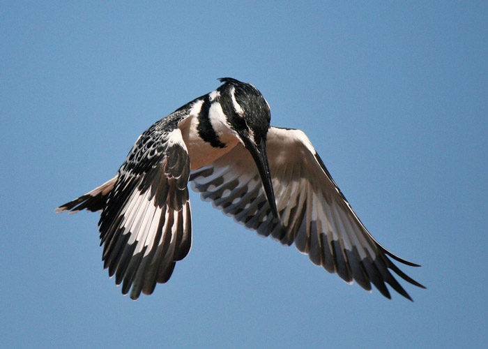 Through predicting behaviour and knowing your camera you are better equipped to capture those fleeting moments in time like Tyrone Glenn did with this pied kingfisher in Kruger National Park