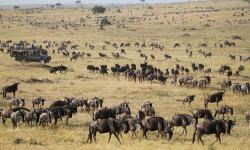 Vehicle-and-Wildebeest-mara
