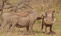 Warthogs © Christian Boix